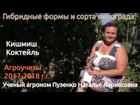Кишмиш Коктейль - ранний кишмиш на участке Пузенко Натальи Лариасовны