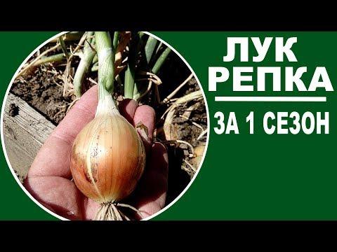 Выращивание лука из семян за один сезон безрассадным способом. Возможно ли и как