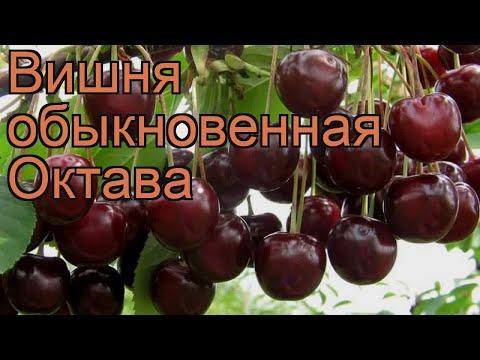 Вишня обыкновенная Октава (prunus cerasus) 🌿 вишня Октава обзор: как сажать саженцы вишни Октава