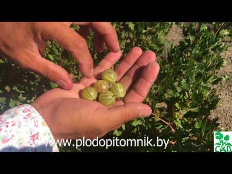 Крыжовник Алтайский. Поздний крупноплодный сорт зелёного крыжовника.