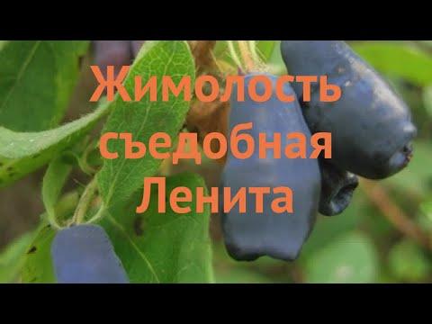 Жимолость съедобная Ленита 🌿 обзор: как сажать, саженцы жимолости Ленита