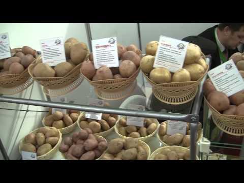 Картофель разнообразных сортов