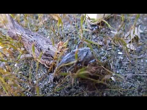 ДОЛГОНОСИК СВЕКОЛЬНЫЙ (Bothynoderes punctiventris). Никита Нюняев (7лет). Одесса апрель 2018