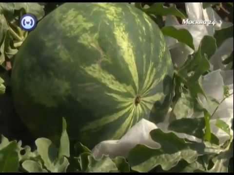 Сорта арбузов. Выращивание