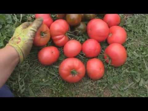 """Сорта томатов """"Розовый слон"""" и """"Виагра"""""""