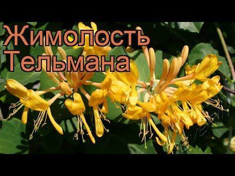 Жимолость тельмана (lonicera) 🌿 тельмана жимолость обзор: как сажать, саженцы жимолости