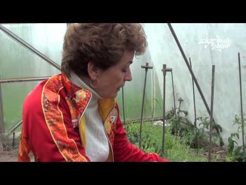 """Почему у томатов опадают цветы и завязи. Сайт """"Садовый мир"""""""