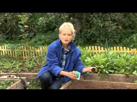 Все о выращивании капусты. ПОСАДКА РАССАДЫ В ГРУНТ.Часть 4