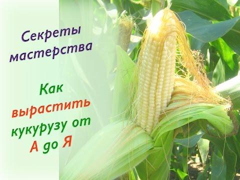 19.Как вырастить кукурузу от А до Я. Лучший сорт кукурузы