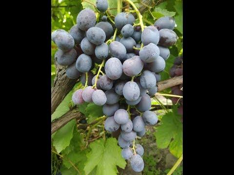 Обзор сортов винограда. Восторг черный. Сентябрь