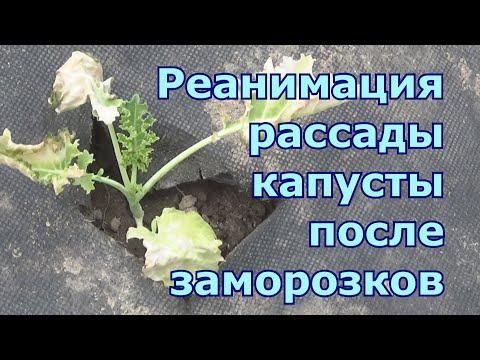 Первая помощь рассаде капусты после заморозков