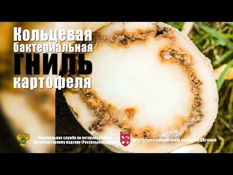 Кольцевая бактериальная гниль картофеля