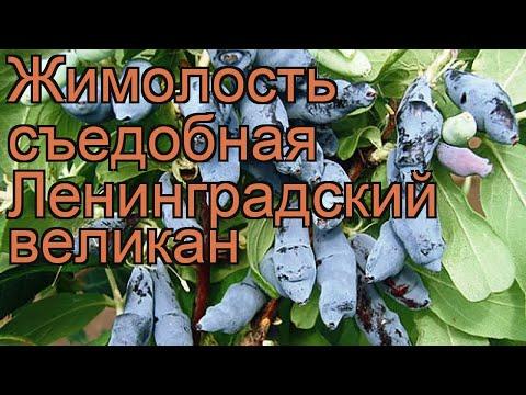 Жимолость съедобная Ленинградский великан 🌿 обзор: как сажать, саженцы жимолости