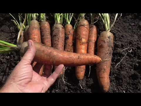 Морковь сорт КОРОЛЕВА ОСЕНИ, описание, опыт выращивания.