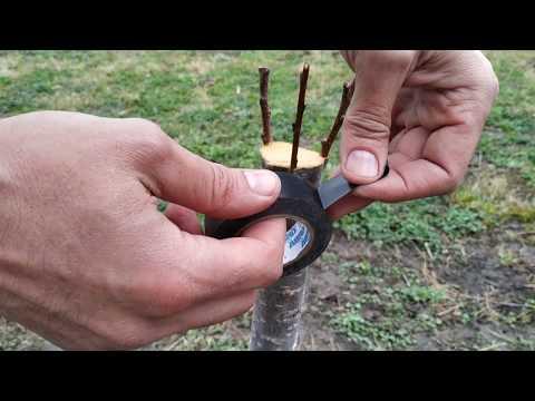 прививка абрикоса простой проверенный способ / grafting tree