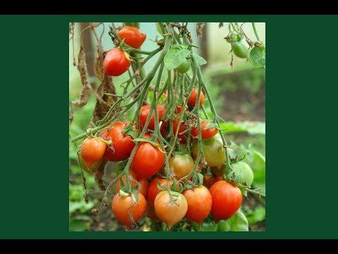 Уникальный томат - Гераниум Кисс
