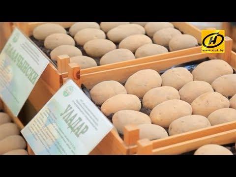 В Беларуси изучают картофель, новинки сортов