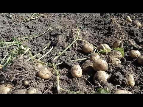 Картофель,сорт Уладар