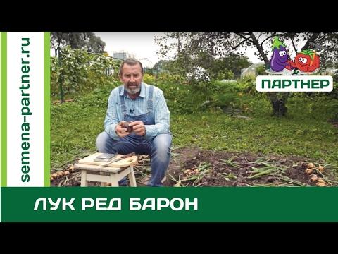 ЛУК РЕПЧАТЫЙ РЕД БАРОН