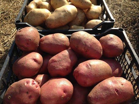 Хранение картофеля / Как сохранить картофель до весны