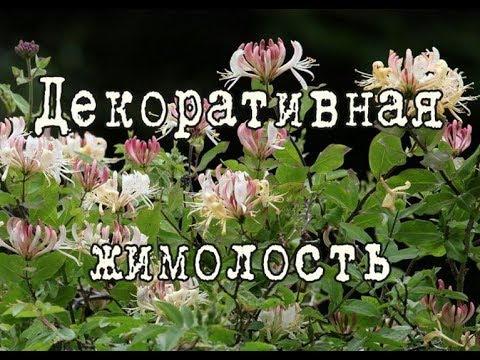ЖИМОЛОСТЬ вьющаяся – красивоцветущая древесная лиана. Посадка и уход в саду