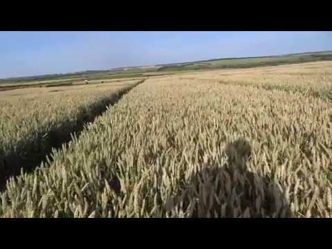 2.07.19. Озимая пшеница, сорт Алексеич.