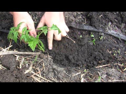 Секреты высадки рассады помидор