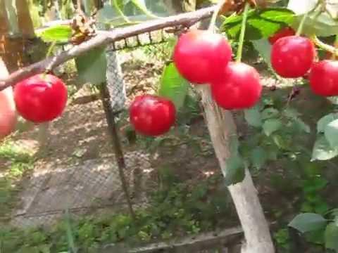 Вишня Подбельская урожайный сорт