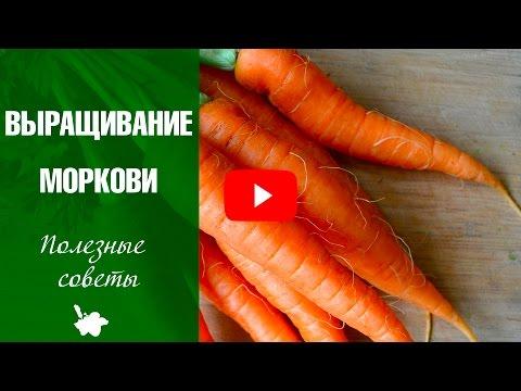 Как вырастить хорошую морковь в открытом грунте? Советы эксперта