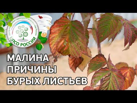 Болезни и вредители малины. Бурые листья малины.