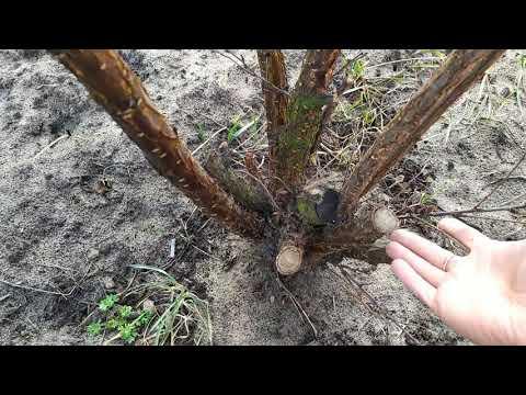 Войлочная вишня. Ошибки при обрезке войлочной вишни.