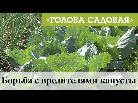 Голова садовая - Борьба с вредителями капусты
