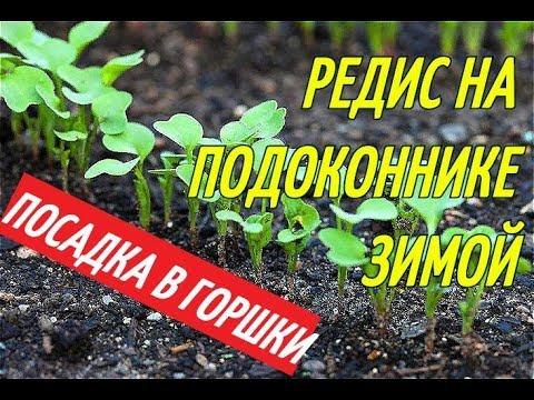 РЕДИС НА ПОДОКОННИКЕ ЗИМОЙ/ПОСАДКА В ГОРШКИ.