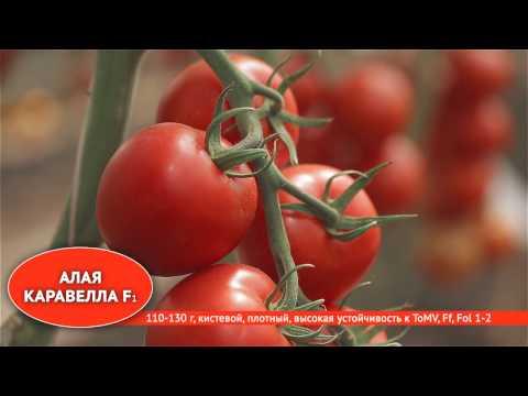 Лучшие сорта и гибриды томатов для профессионалов
