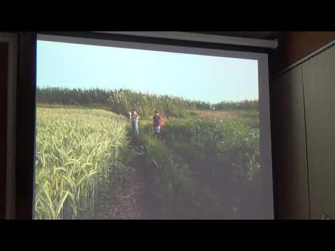 Опыт выращивания тритикале