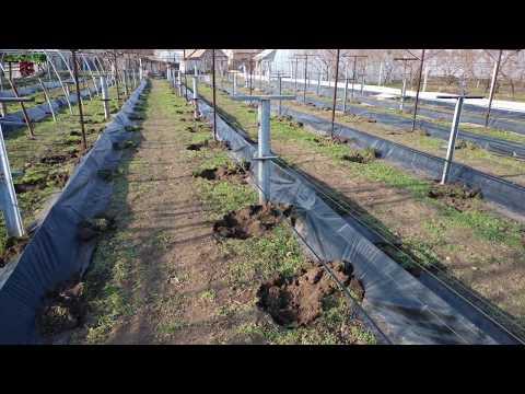 Способ укрытия винограда на зиму . Туннельное укрытие винограда .