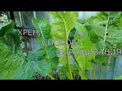 Мой способ выращивания хрена/что бы хрен не превратился в сорняк/.