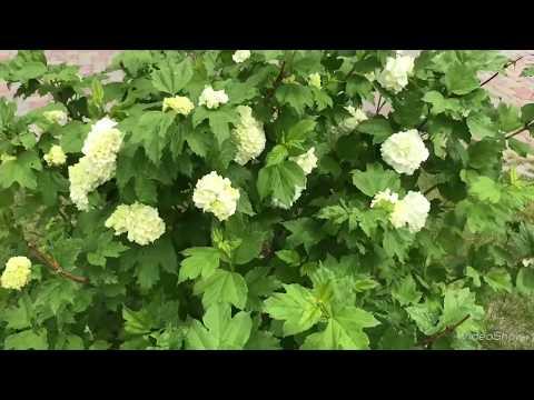 Калина Бульденеж в моем саду. Размножение.