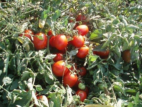 10 ЛУЧШИХ НИЗКОРОСЛЫХ СОРТОВ ТОМАТОВ ДЛЯ ОТКРЫТОГО ГРУНТА. По отзывам огородников
