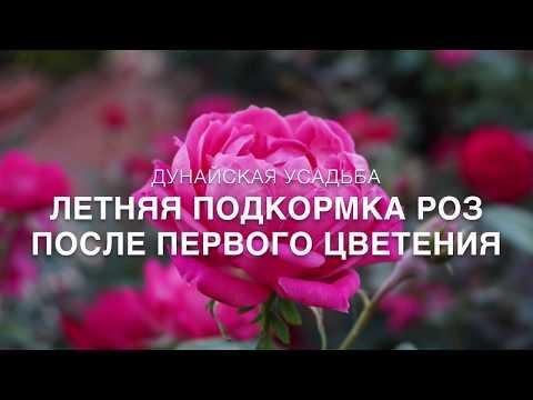 Летняя подкормка роз после первого цветения