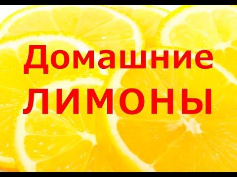 Домашние лимоны. Как вырастить лимон у себя на окне.