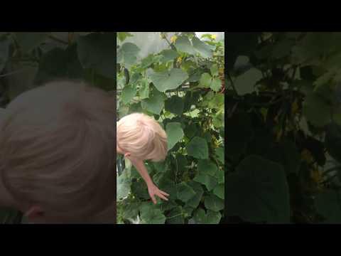 Огурец ПАРАТУНКА - очень плодовитое и неприхотливое растение.
