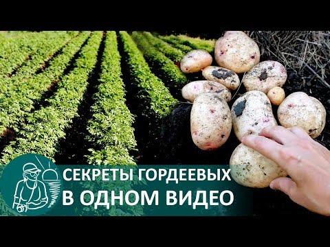 Посадка картофеля в траншеях 🌿 Выращивание по технологии Гордеевых