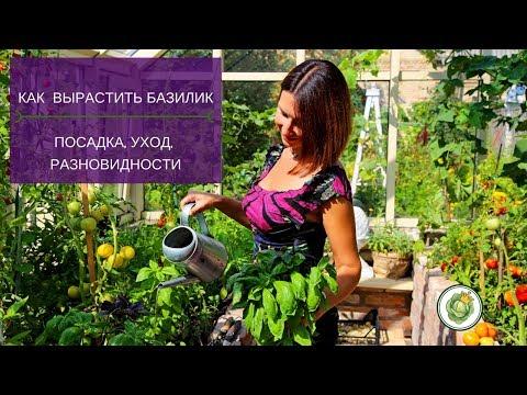 Как правильно выращивать базилик//Посадка, уход и разновидности базилика.