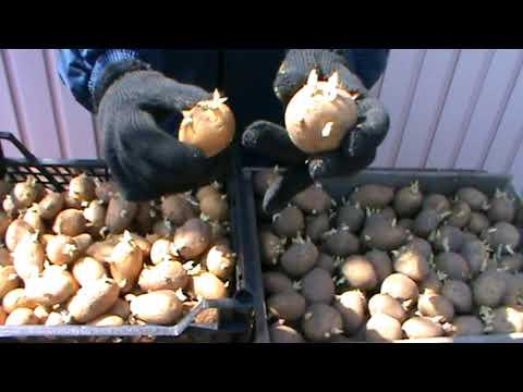 Какой идеальный посадочный материал картофеля.Отбираем посадочный материал картофеля