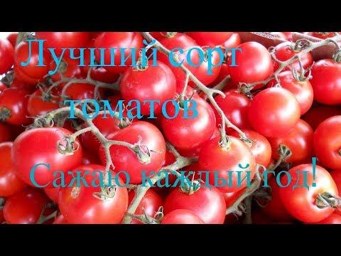 Очень урожайный сорт помидор, Французский гроздевой