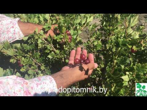 Крыжовник Розовый 2. Редкий сорт крыжовника, требующий хорошей агротехники.
