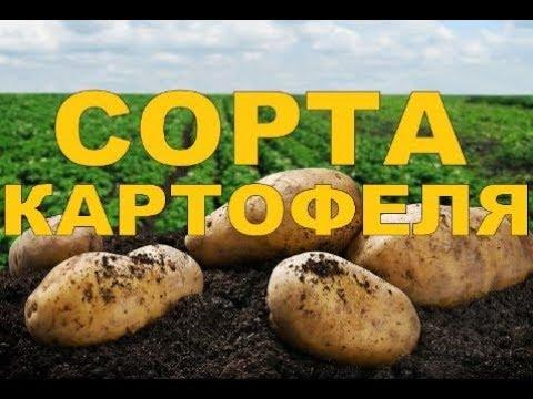 ОБЗОР СОРТОВ /// Копаем картошку (БЕЛАРУСЬ)