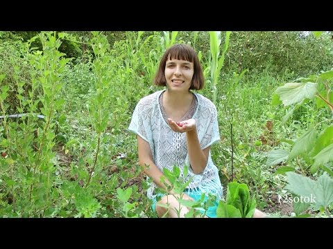 Крыжовник - секреты выращивания