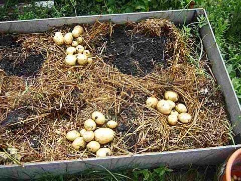 КАРТОФЕЛЬ ВЫРАЩИВАНИЕ: 2 урожая картофеля за лето в Сибири. Копка 1 урожая . Сорт картофеля Коломба